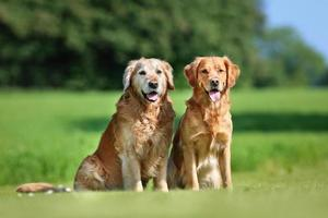 Two golden retriever dogs photo