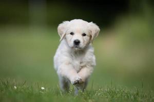joven cachorro de golden retriever corriendo hacia la cámara foto