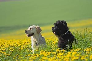 Golden Retriever and Big Black Schnauzer in dandelions meadow