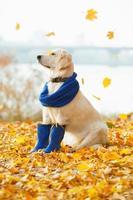 Autumn portrait of golden retriever junior