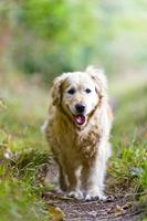 Beautiful Golden Retriever Running Towards the Camera