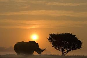 huge rhinoceros standing in sunset aside an African Acacia tree