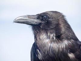 retrato de cuervo
