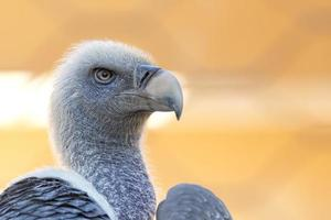 portrait of vulture, buzzard looking at you