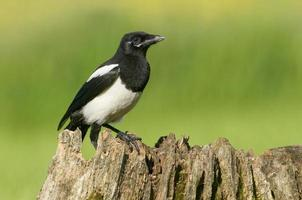European Magpies (pica pica) perched on tree stump