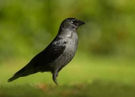 Jackdaw against green background