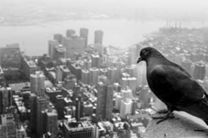 Pigeon welcoming to New York photo