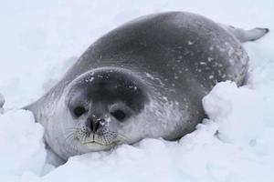 filhote de foca weddell na neve na Antártica