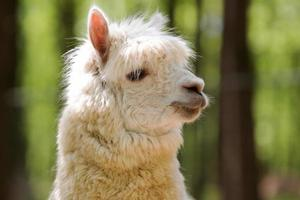 White alpaca photo