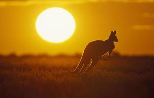 Silhouette of a kangaroo in the field at sunset
