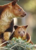 Tree Kangaroos photo
