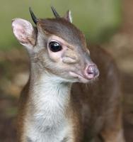 Blue Duiker Antelope photo