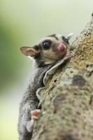 sugar-glider climb on the tree,
