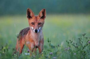 Red fox in a field photo