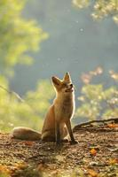 Red fox siitng in backlight during Indian summer photo