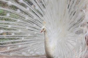 White peacock with feathers show side view