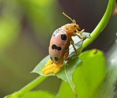 Orange beetle laying eggs