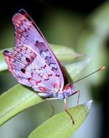 Retrato de mariposa de pavo real blanco foto