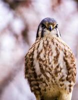American Kestral in Winter Setting