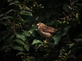 Sparrow in bushes
