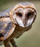 Attentive Owl