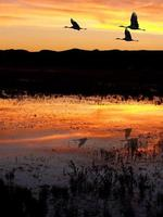Cranes at Bosque del Apache photo