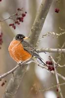Spring Robin photo