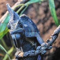 camaleão único em um galho, close-up