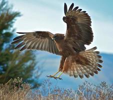 Hawk landing
