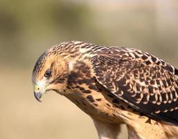 close up van een jonge havik in het schilderachtige Saskatchewan
