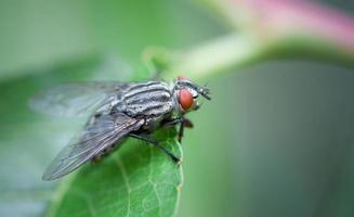 Fly on leafe