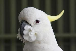 Cockatoo KAKATUA