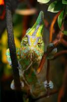 Funny chameleon on a branch. photo