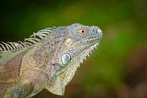 cabeça de iguana verde foto