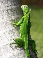 iguana en fotos