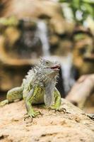 iguana verde foto