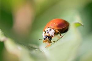 Spotless Ladybug photo
