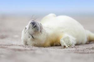 new born white grey seal baby photo