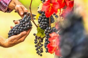 la cosecha de uva