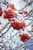 Winter mountain ash.