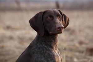 perro de caza se sienta y mira hacia adelante foto