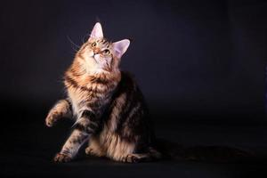 Brown Tabby Maine Coon on black