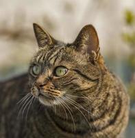 Tabby Cat staring. photo