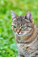 Striped cat with green eyes photo