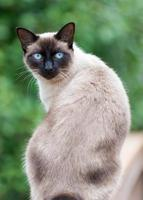 Blue Eyed Siamese Cat with green background photo