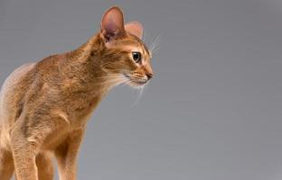 Purebred abyssinian young cat portrait photo