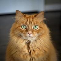 jengibre de pelo largo con ojos verdes foto