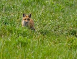 filhote de raposa vermelha