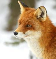 Portrait Foxes photo
