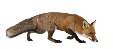 Red fox, Vulpes, 4 years old, walking against white background
